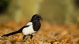 A magpie on the ground