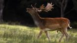 Fallow deer stag with antlers during the rutting season