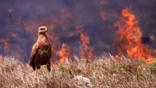 Savannah hawk foraging in front of a bush fire