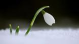 Snowdrop flower in snow