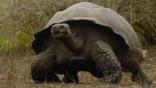 A Galpagos giant tortoise walking