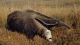 Giant anteater running on grassland