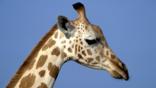 A profile of a giraffe