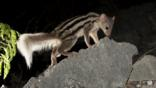 Giant striped mongoose foraging at night