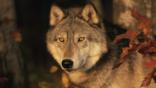 Portrait of a grey wolf in a forest