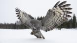 Great grey owl hunting in the snow
