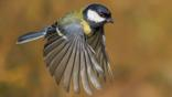 A great tit in flight (c) Jerry Nicholls