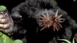 Close-up of star-nosed mole out of its burrow