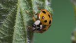 Harlequin ladybird on a nettle