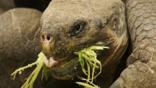Close-up of a Galápagos giant tortoise eating plants