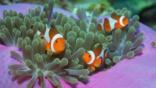 Three anemone clownfish swimming amongst anemones
