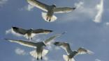 Looking up at herring gulls in flight