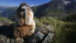 An Alpine marmot feeding