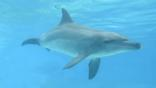 Indo-Pacific bottlenose dolphin in waters off South Africa 