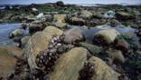 Mussels in the intertidal zone of the Atlantic coast