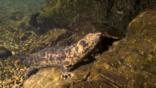 A Japanese giant salamander climbing an underwater rock