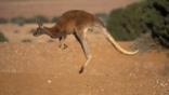 Kangaroo hopping over dry grassland