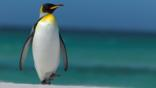 King penguin walking along the beach