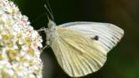 Cabbage white butterfly in flight