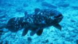 A coelacanth swims over the seabed
