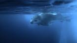 Leopard seal swimming near an iceberg
