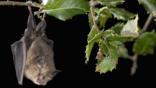 Lesser Horseshoe Bat roosting on a branch