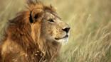 Portrait of a male lion sitting in the grass