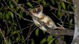 Madame Berthe&#039;s mouse lemur on a branch in Madagascan forest at night