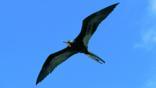 A magnificent frigatebird in flight