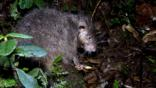 Woolly rat in undergrowth