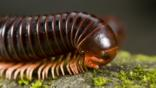 A giant millipede