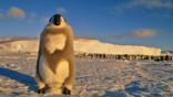 Emperor penguin juvenile in moulting stage