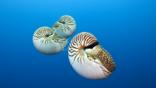 A group of chambered nautilus