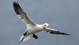 Northern gannet hovering