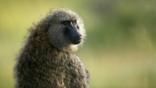 Olive baboon looking around