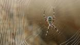 Wasp spider in its web with dewdrops
