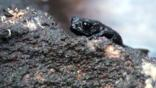 Venezuela pebble toad climbing over a rock