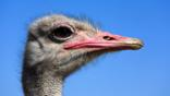 Profile shot of an ostrich