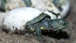 Red-eared turtle hatching out of its egg