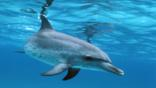 A spotted dolphin underwater
