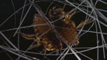 Cat fleas amongst cat fur