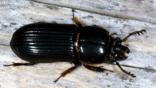 A bess beetle