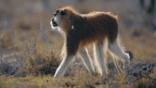 Patas monkey walking