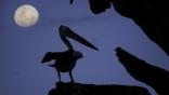 Silhouette of an Australian pelican