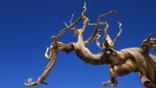 A bristlecone pine branch