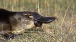Profile of a duck-billed platypus