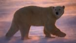 Polar bear walking through wind-blown snow at sunset