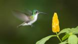 Andean emerald hummingbird feeding at a yellow flower