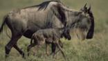Wildebeest walking with a newborn calf