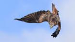 A red kite diving (c) Steve Mackay